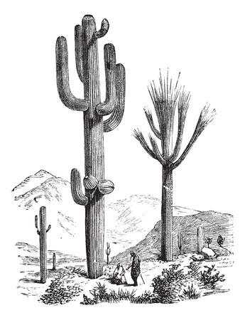 plantas del desierto: Saguaro o Carnegiea gigantea, grabado de �poca. Ilustraci�n del Antiguo grabado de un Saguaro. Vectores