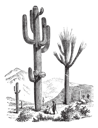 sonoran: Saguaro or Carnegiea gigantea, vintage engraving. Old engraved illustration of a Saguaro.