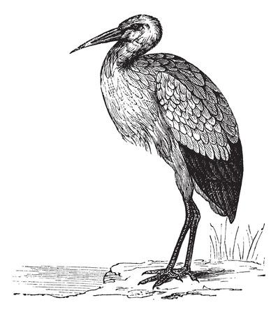 cigogne: Cigogne blanche ou Ciconia ciconia, vendange, gravure. Old gravé illustration d'une cigogne blanche.