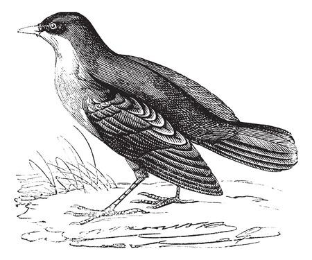 Storm  Petrel or European Storm-petrel or Hydrobates pelagicus, vintage engraving. Old engraved illustration of Storm Petrel. Illustration