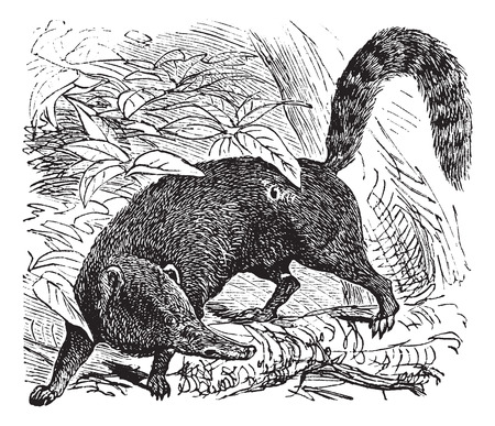 diurnal: Ring-tailed Coati or South American Coati or Nasua nasua, vintage engraving. Old engraved illustration of a Ring-tailed Coati.