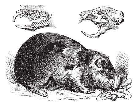モルモットまたは Cavy またはオンレールシューティングように、ビンテージ彫刻。昔には、顎の骨と歯 (左上) と頭蓋骨の骨 (右上) を示すモルモット