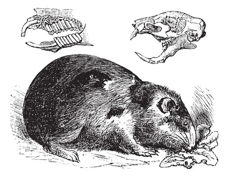 guinea: Guinea pig or Cavy or Cavia porcellus, vintage engraving. Old engraved illustration of a Guinea pig showing jaw bones and teeth (upper left) and skull bone (upper right). Illustration