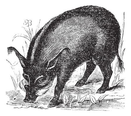 wart: Warthog or Wart-hog or African Lens-Pig or Phacochoerus africanus, vintage engraving. Old engraved illustration of a Warthog.