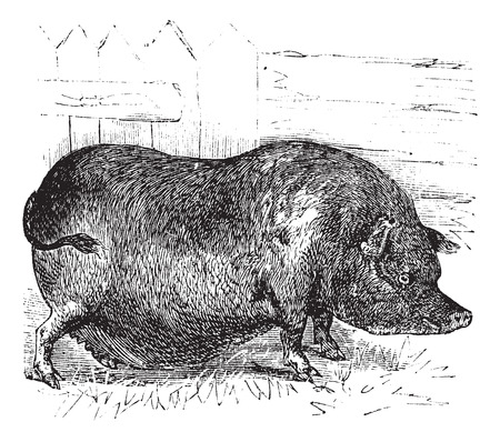 ベトナムいぼ豚または Sus bucculentus、ビンテージやインドシナいぼ豚豚繁殖の彫刻。古い繁殖の豚のイラストが刻まれました。