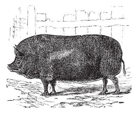 Essex or Sus bucculentus, vintage engraving. Old engraved illustration of an Essex pig.
