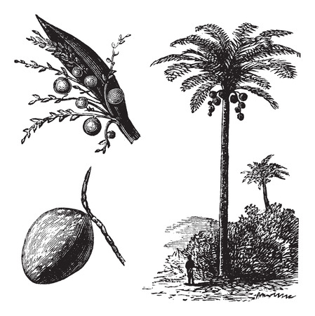 cocos: Coconut or Coconut Palm or Cocos nucifera, vintage engraving. Old engraved illustration of a Coconut tree showing flowers and fruit.