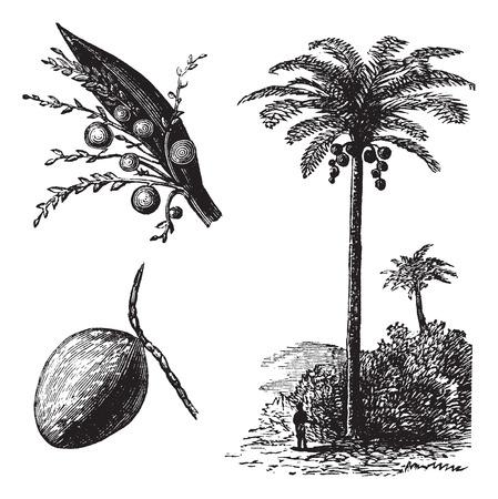 Kokos of Coconut Palm of Cocos nucifera, vintage graveren. Oude gegraveerde afbeelding van een kokosnoot boom toont bloemen en fruit.