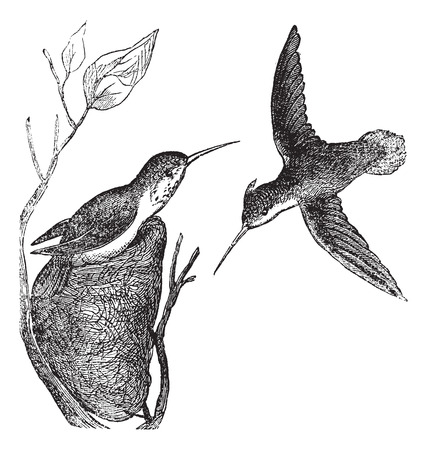 Rufous Hummingbird or Selasphorus rufus, vintage engraving. Old engraved illustration of the Rufous Hummingbird showing male bird (right) and female bird (left).
