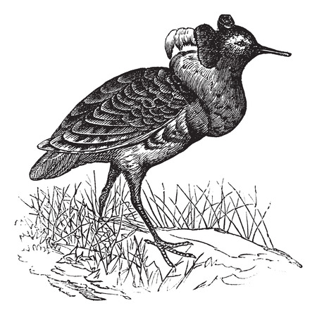 ruff: Ruff or Philomachus pugnax, vintage engraving. Old engraved illustration of a Ruff.