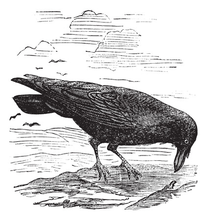 carrion: Old engraved illustration of a common Raven. Illustration