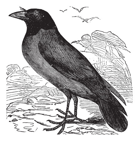 carrion: Old engraved illustration of a Hooded Crow.
