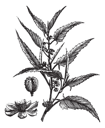 potherb: Old engraved illustration of a Jute showing flowers. Illustration