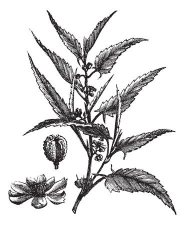 bast: Old engraved illustration of a Jute showing flowers. Illustration