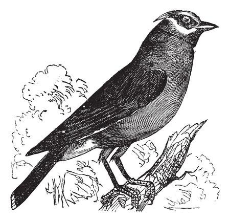 Old engraved illustration of a Cedar Waxwing. Иллюстрация