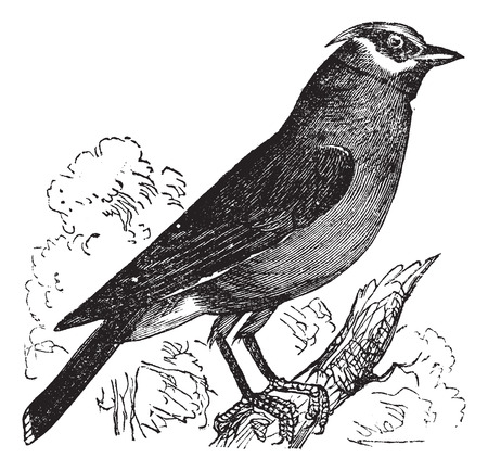 migrate: Old engraved illustration of a Cedar Waxwing. Illustration