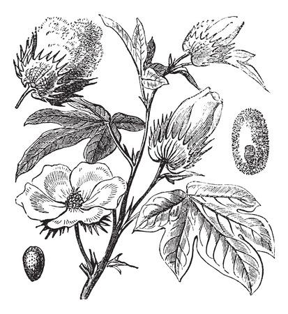 Old engraved illustration of a Pima Cotton. 矢量图像