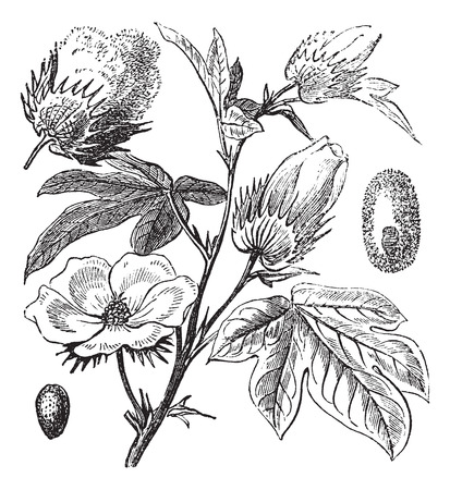 cotton: Old engraved illustration of a Pima Cotton. Illustration