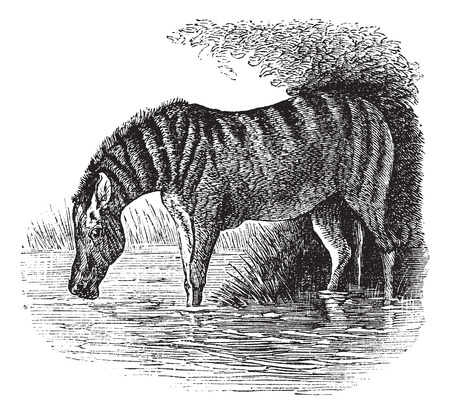 jack ass: Old engraved illustration of a Donkey.
