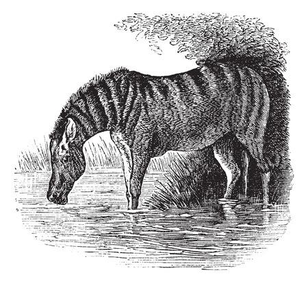 jenny: Old engraved illustration of a Donkey.