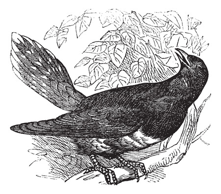 migrate: Old engraved illustration of a common Cuckoo.