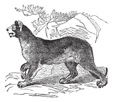 felidae: Old engraved illustration of a Cougar.