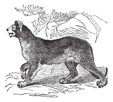 Old engraved illustration of a Cougar.