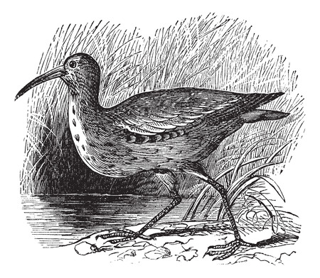 threatened: Old engraved illustration of an Eskimo Curlew.