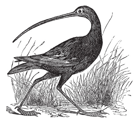 wade: Old engraved illustration of a Slender-billed Curlew. Illustration