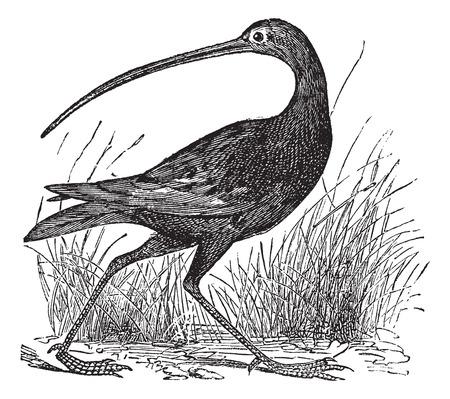 Old engraved illustration of a Slender-billed Curlew. Illustration
