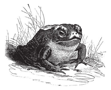 wart: Old engraved illustration of a Common Toad. Illustration