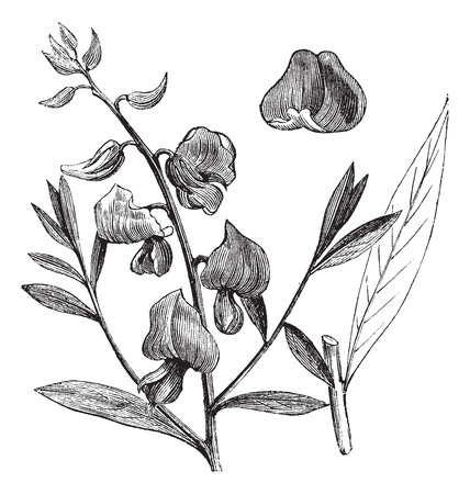 Fabaceae: Old engraved illustration of a Sunn showing flowers. Illustration