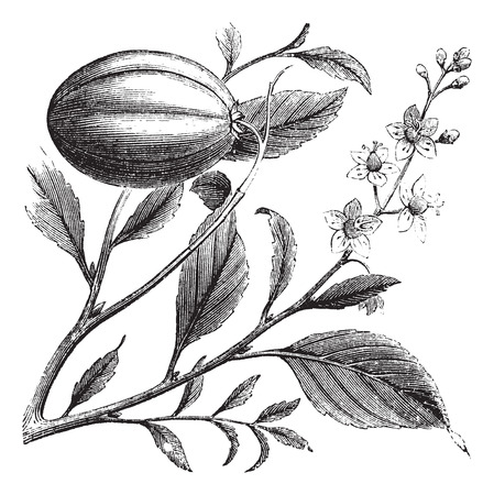 herbology: Old engraved illustration of a Purging Croton plant showing flowers. Illustration