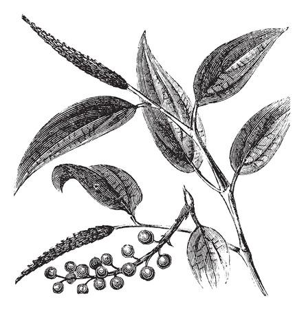 오래 열매를 보여주는 Cubeb 식물의 그림을 새겨 져.
