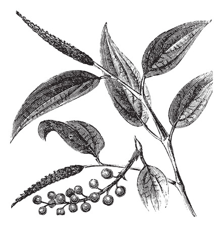 piper: Old engraved illustration of a Cubeb plant showing berries.