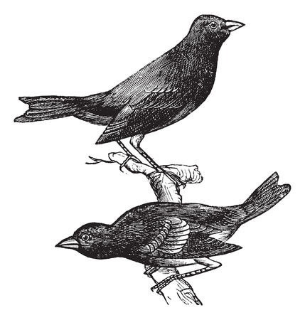 Indigo Bunting or Passerina cyanea, vintage engraving. Old engraved illustration of a pair of Indigo Buntings showing male bird (top) and female bird (bottom).