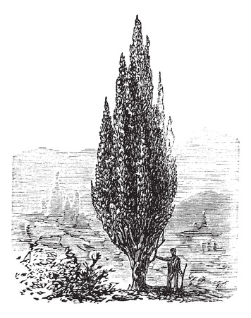 Old engraved illustration of a man standing beside a Mediterranean Cypress tree.