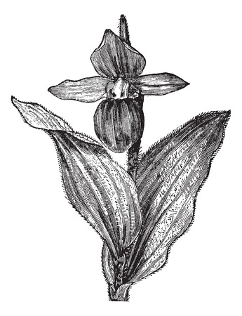 lady's slipper: Ladys Slipper Orchid or Lady Slipper Orchid or Slipper Orchid or Cypripedium spectabile, vintage engraving. Old engraved illustration of a Ladys Slipper Orchid showing flower. Illustration