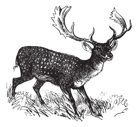 cervidae: Old engraved illustration of a Fallow Deer. Illustration