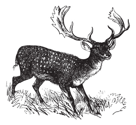 Old engraved illustration of a Fallow Deer. Vettoriali