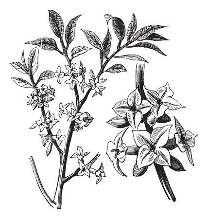 daphne: Ilustraci�n del Antiguo grabado de una planta de Daphne que muestra las flores.