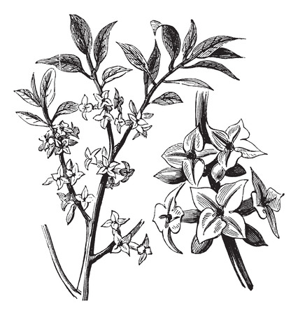 Old engraved illustration of a Daphne plant showing flowers. Vector
