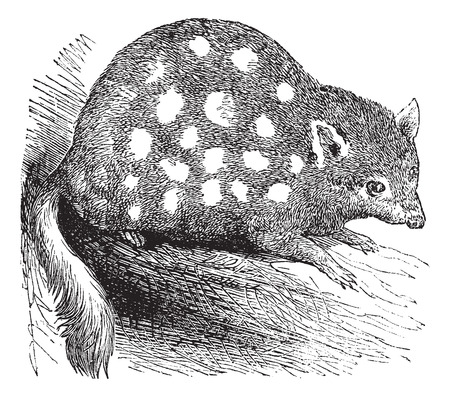 eastern: Old engraved illustration of an Eastern Quoll.
