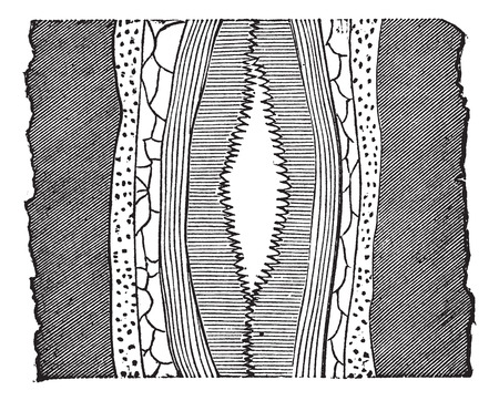 hydrothermal: Geological Vein, illustration showing vein with cavity (center) splitting quartz into two portions, vintage engraved illustration