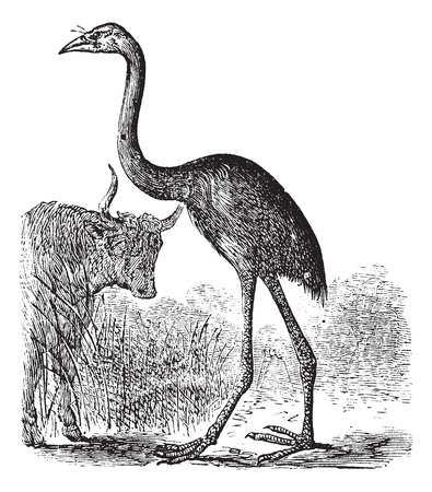 flightless: Old engraved illustration of a South Island Giant Moa.