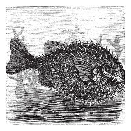 illustration: Old engraved illustration of a Long-spine Porcupine Fish.