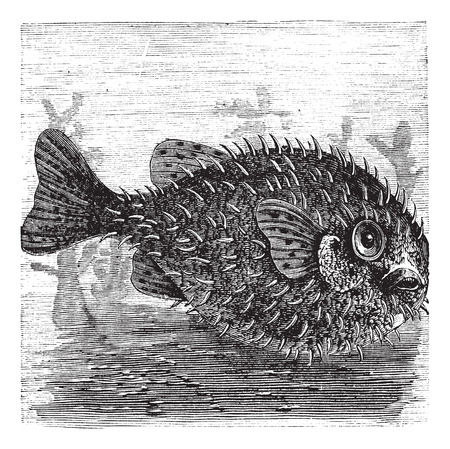 ichthyology: Old engraved illustration of a Long-spine Porcupine Fish.