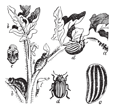 Old engraved illustration of the lifecycle of a Colorado Beetle.