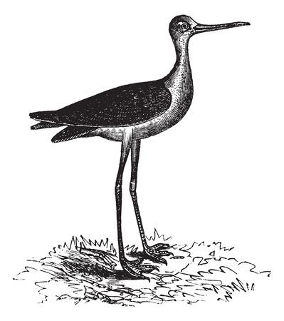 ornithological: Old engraved illustration of a Black-necked Stilt.