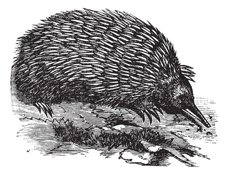 echidna: Old engraved illustration of an Echidna.